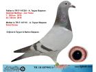TR18-207481 DİŞİ / MARATON DESMET - JOS - EMİEL DENYS