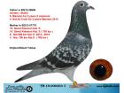 TR19-000303 DİŞİ / ANNESŞ UKRANİA DİVA BABASI 4. NAT AS COCK MARATON