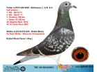 TR19-001650 DİŞİ / ANNESİ DE RİJCK WALTER - BLAUW AS BÜLENT MAVİŞ
