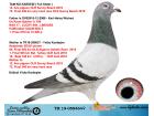 TR19-058464 DİŞİ /BABA SABLON - KARDESI 12. ACE PİGEON OLR SUNNY BEACH- ANNE SPARTACUS KIZI