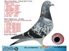TR19-058470 DİŞİ/ INBRED HARRY JAN HOOYMANS SUPER HEN !!!