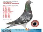 TR19-115201 DİŞİ / BABASI ORJ CHRIS HEBBERECHT ANNESİNİN YAVRULARI BASARILI YARISMITRI