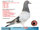 TR20-001005 ERKEK / BABASI STEFFL ELEFANT OGLU ANNESİ STEFFL KARDEŞİ 3 FİNAL SOFİA