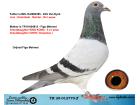 TR20-012770 ERKEK / BABASI VAN DYCK ANNESİ KING KONG TORUNU - CHEN KOOPMAN
