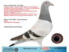 TR20-017114 DİŞİ / BABASININ SOYU TEK KÜMESLERDE ÇOK BAŞARILI - ANNESİ ŞABLON