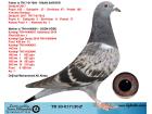 TR20-017120 ERKEK / BABASININ KARDEŞİ DERBY16 FİNAL 1 AS 1 ANNESİNİ KARDEŞİ KALİMANCİ SAMPİYONU