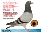 TR20-029006 DİŞİ / INBREED MISTER KALIMANCI 2 KARDESTEN CIKMA