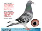 TR20-030617 ERKEK / ORJ AKA KARDEŞLER - HOK JOS VERCAMMEN % 100