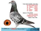 TR20-045067 DİŞİ / BABASI MARC POLLİN ANNESİ VAN LOON - JANSSEN
