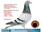 TR20-051090 DİŞİ / BABA REIJNEN - HOUBEN ANNE DE RAUW SABLON