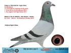TR20-051123 DİŞİ / BABASININ KARDEŞİ MISTER KALİMANCİ ANNE HOK REİJNEN