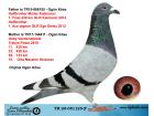 TR20-051125 ERKEK / BABADAN KARDESİ MISTER KALİMANCİ ANNESİ GABY VANDENABEELE