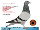TR20-051228 DİŞİ / BABA HOK M REİJNEN % 100 ANNEİ GABY KOOPMAN