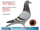 TR20-051233 DİŞİ / BABASNIN YARI KARDESİ 2. ACE PİGEON 15. FİNAL ANNE ŞABLON