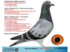 TR20-059861 DİŞİ / BABASI 61 FINAL ALGARVE GOLDEN RACE ANNESI ROMARIO TORUNU