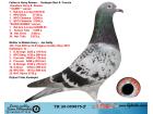 TR20-059875 ERKEK / INBRED HARRY JAN HOOYMANS SUPER BREEDER !!!