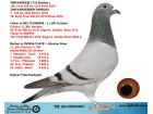 TR20-059909 DİŞİ / HOUBEN % 100 KIZ KARDESI 158. FINAL OLR SOFIA 2018