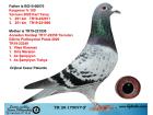 TR20-175077 ERKEK / BABASI KOOPMAN % 100 ANNE TARAFI VİTES ŞAMPİYONU