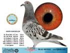 TR21-097914 / AKKIR KARDESLER - 3. ACE PİGEON 6X6 - 59. FİNAL 477 KM