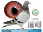 TR21-138303 / ALI ASAF & YILMAZ AYVAZ - 18. FINAL 477 KM - 20. ACE PİGEON 6X6