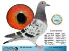 TR21-317343 / HARUN & MURAT - 5. FİNAL 477 KM / 33. ACE GÜVERCİN