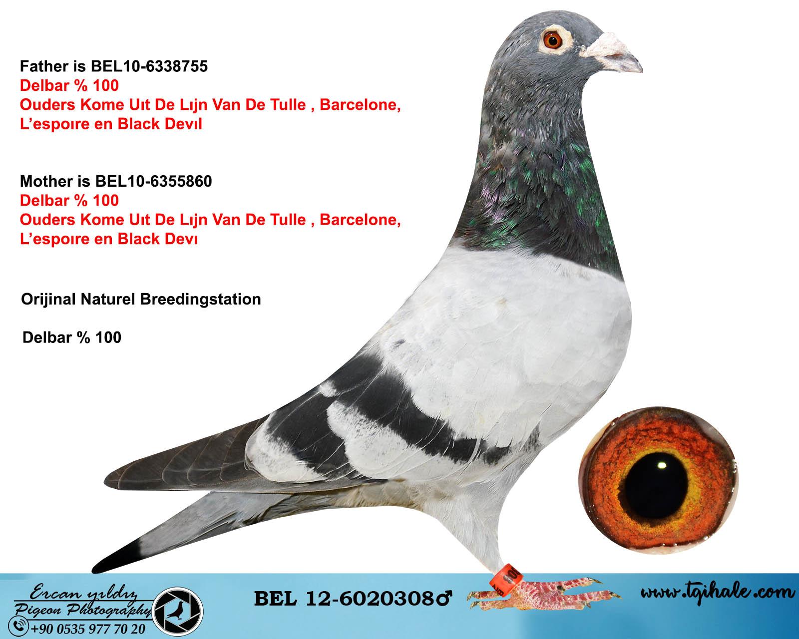 BEL12-6020308 ERKEK / NATUREL BREEDINGSTATION  DELBAR % 100