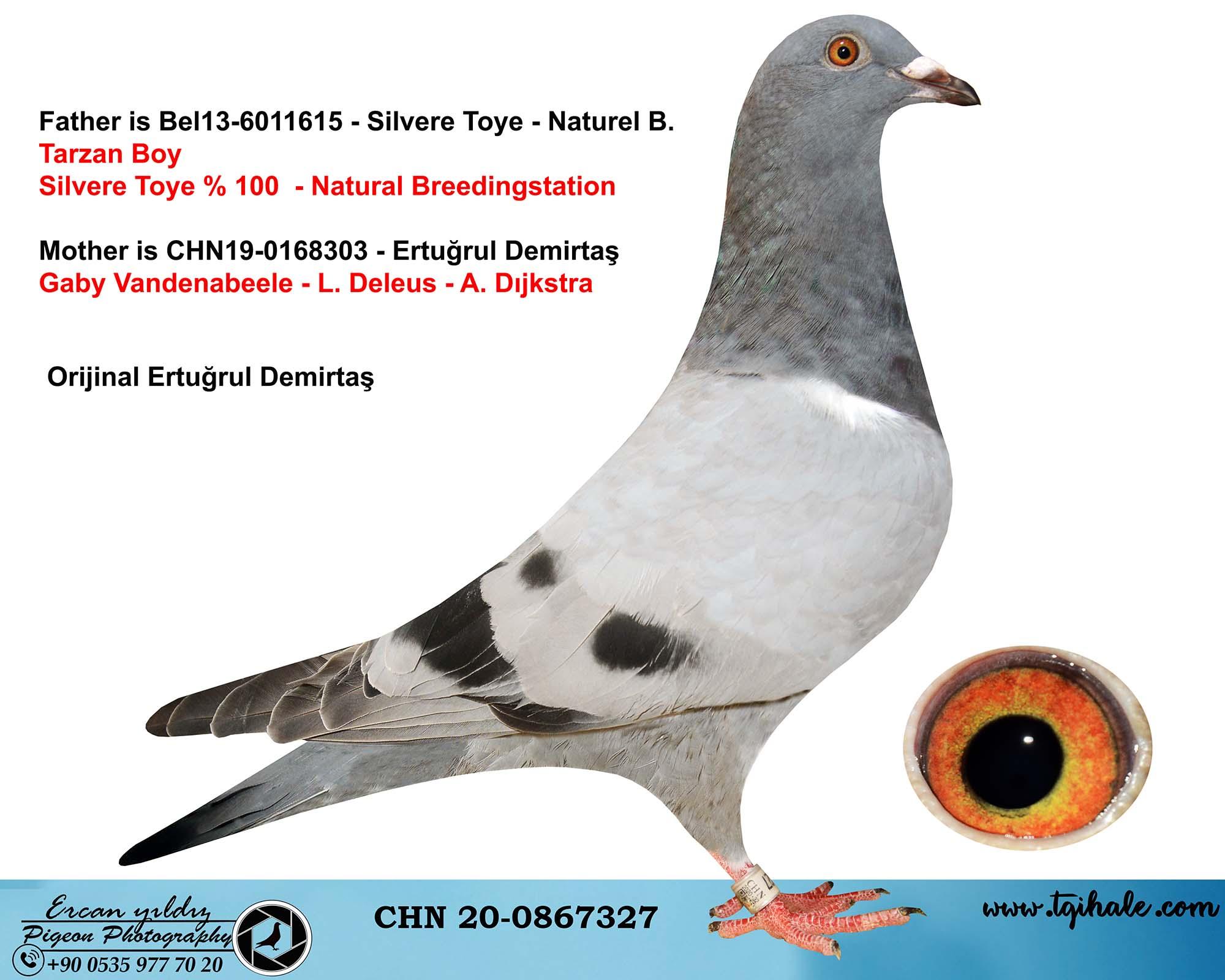 CHN20-0867327 DİŞİ / SİLVERE TOYE - GABY VANDENABEELE - A.DIJSTRA