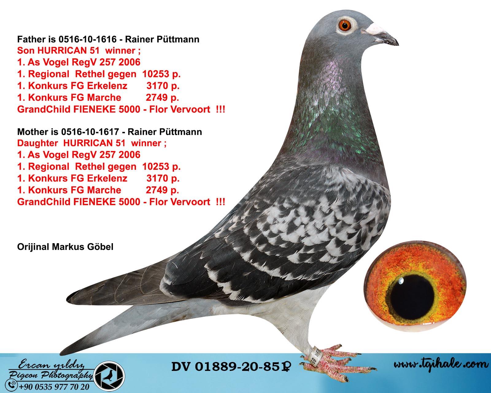 DV01889-20-851 DİŞİ / INBREED HURRICAN 51 !!!