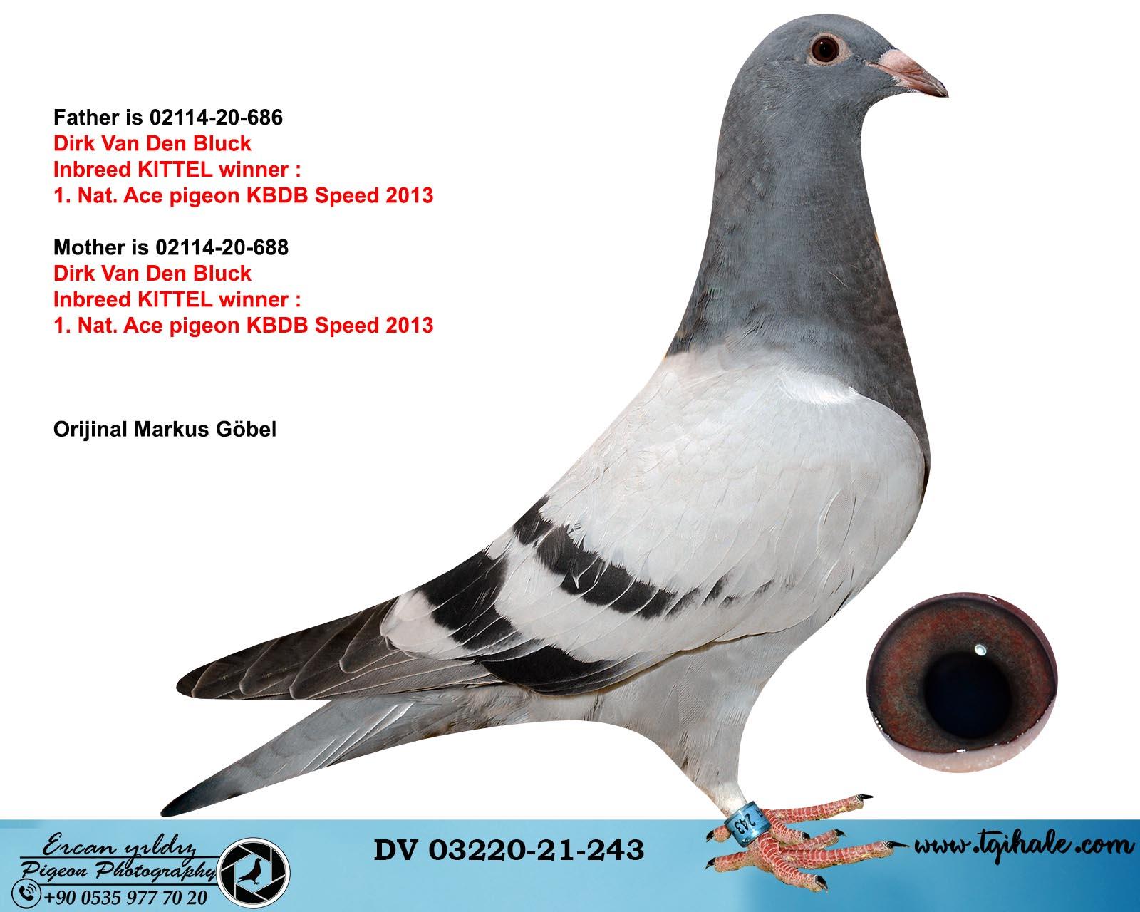 DV03220-21-243 / INBREED KITTEL !!!
