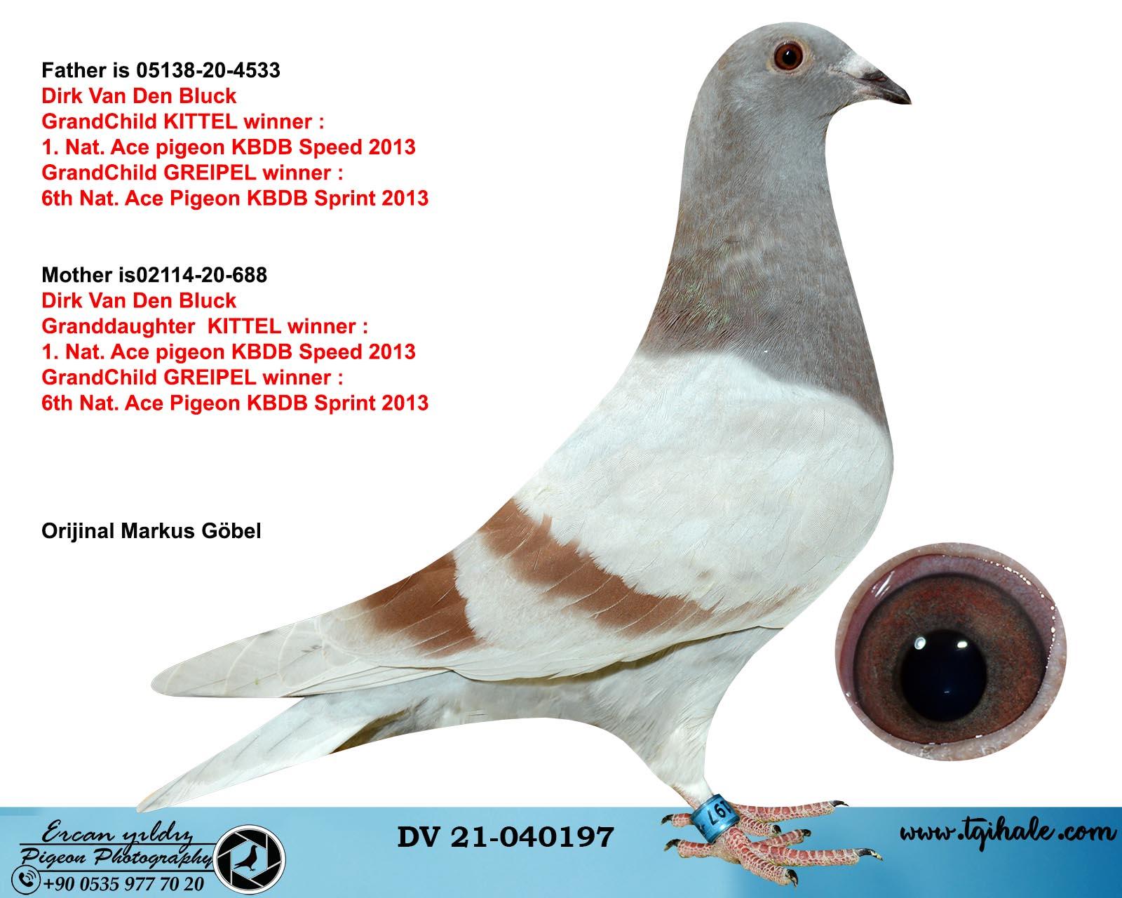 DV21-040197 /  INBREED KITTEL !!! CIFT TORUNDAN CIKMA