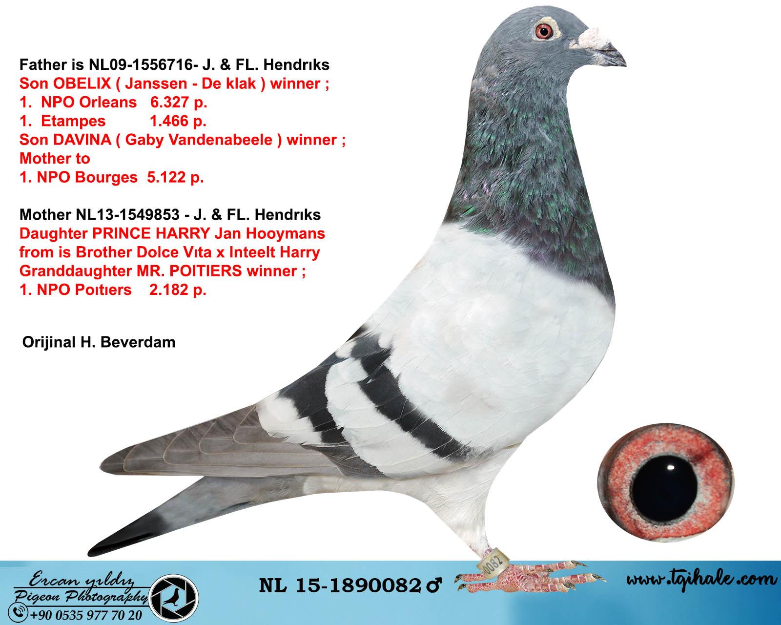 NL15-1890082 ERKEK / DEDESİ OBELIX  1. NPO ORLEANS  6.327  P. / ANNE HATTI HARRY