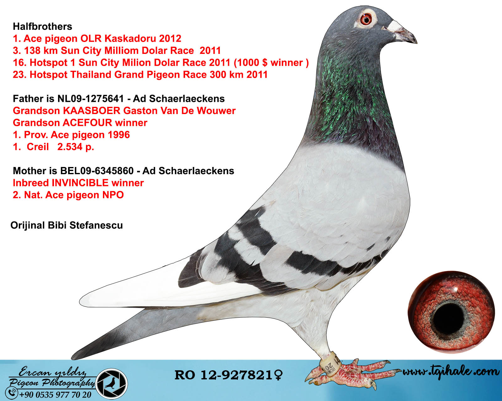 RO12-927821 DİŞİ / AD SCHAERLAECKENS % 100 BABADAN KARDEŞ 1 ACE PİGEON OLR