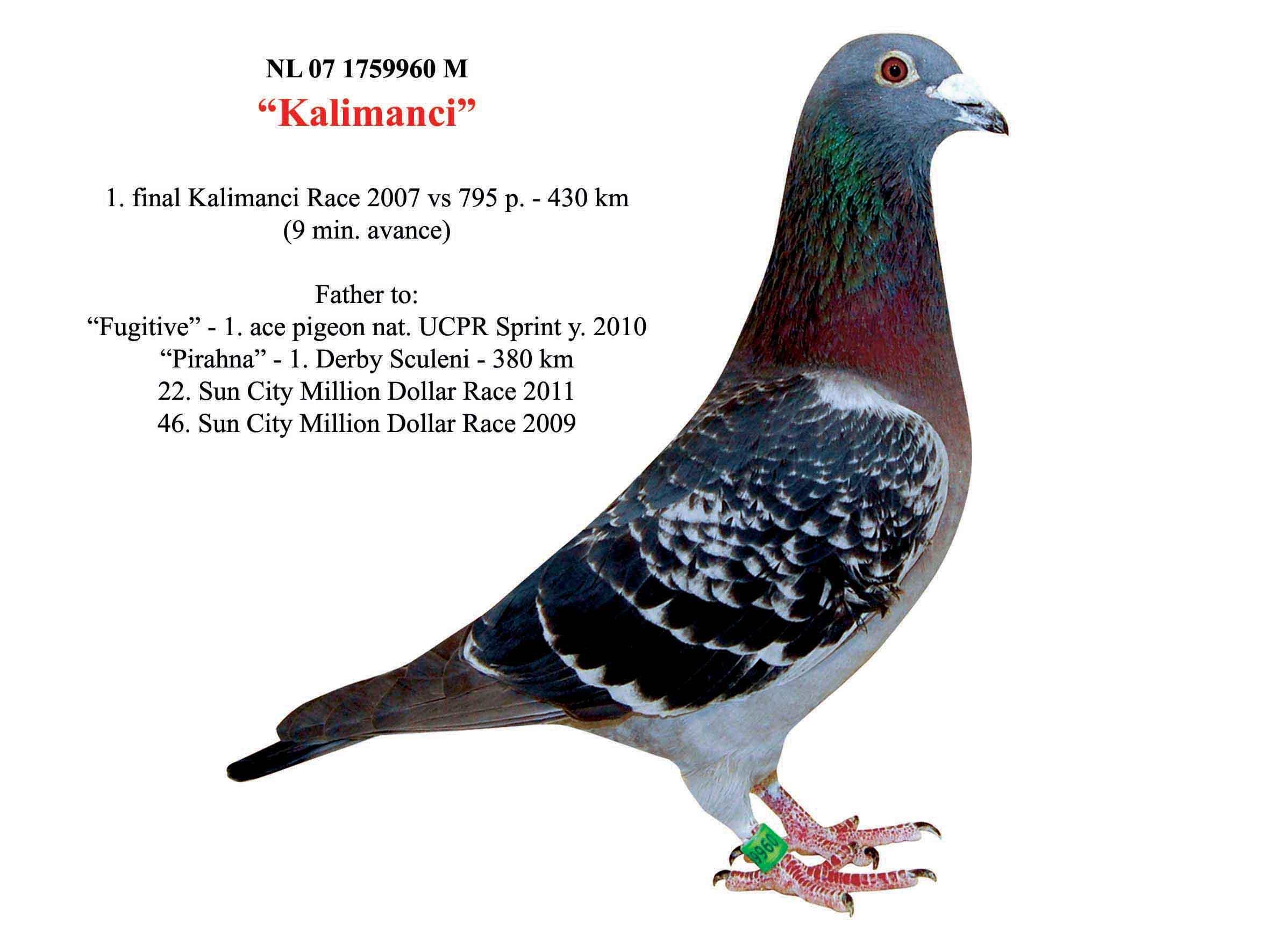 RO18-552191 DİŞİ / KARDEŞİ 7. 530 KM NİKOLAEV GOLDEN R.  GİLETTE X SUPER 134 TORUNU