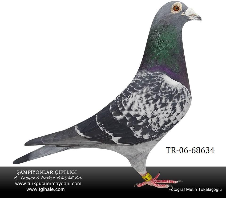 TR-06-68634  Poco Diego /Scorpion erkek
