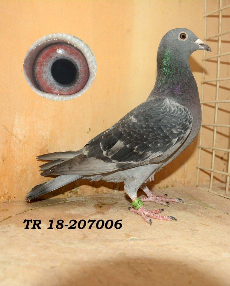 TR-18-207006 DİŞİ çift tarftan uçmuş iki kuşun yavrusu