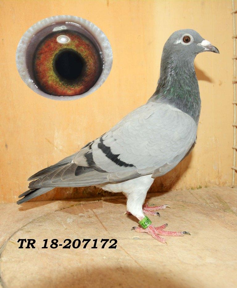 TR-18-207172 DİŞİ Gaby Vandenabeele soylu