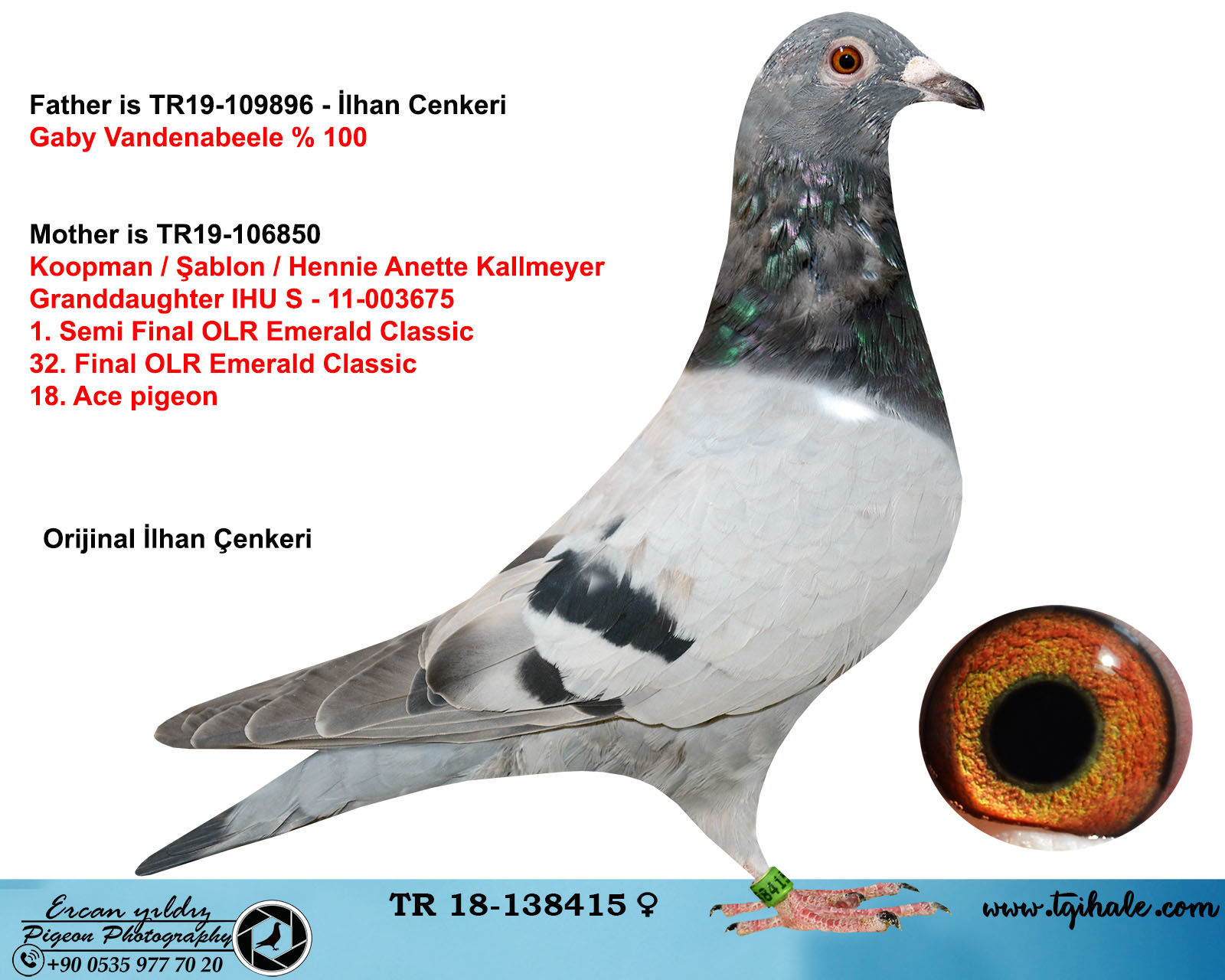 TR18-138415 DİŞİ / BABA GABY VANDENABELEE % 100 ANNE KOOPMAN-ŞABLON-KALLMEYER