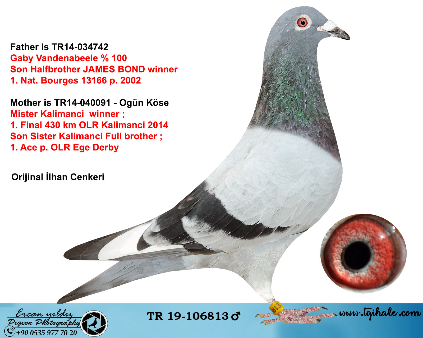 TR19-106813 ERKEK /  BABA GABY VANDENABEELE % 100 ANNE MISTER KALİMANCİ KARDEŞİ