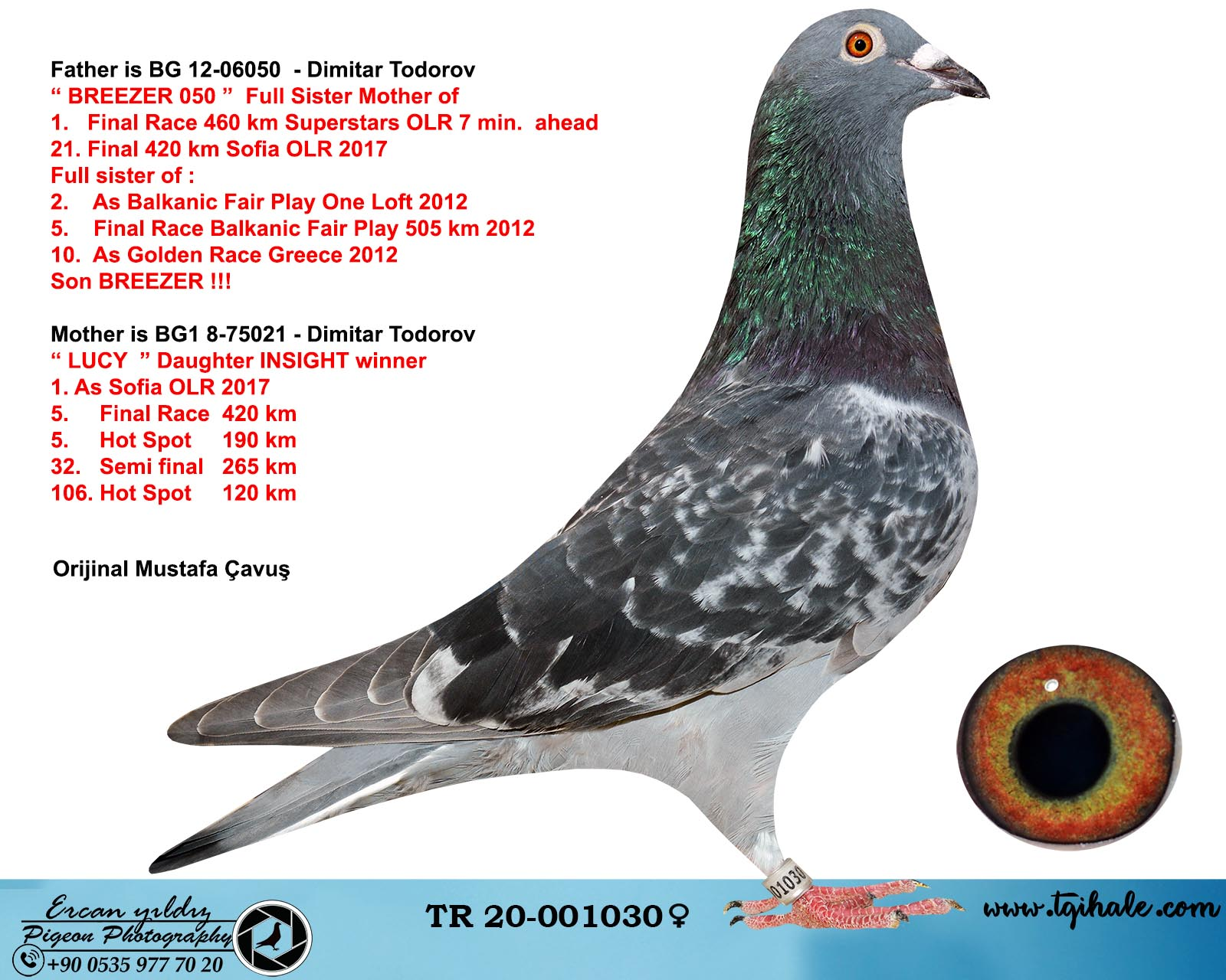 TR20-001030 DİŞİ / BABASI BREEZER OĞLU  ANNESİ INSIGHT KIZI DIMITAR TODOROV % 100