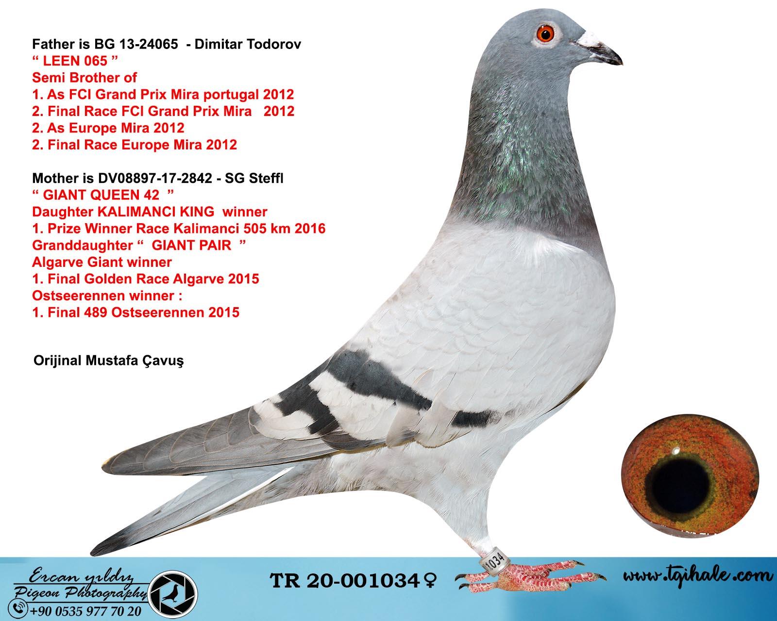 TR20-001034 DİŞİ / BABADI LEEN 739 OGLU ANNESİ KALİMANCİ SAMPIYONU KIZI