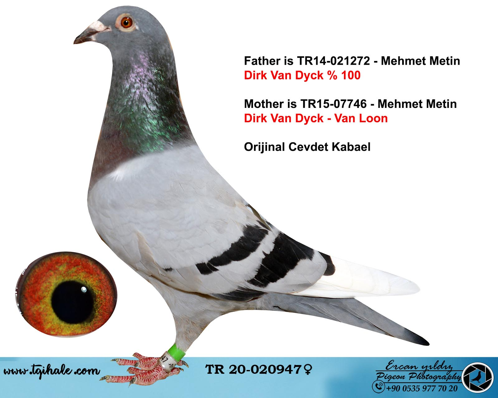 TR20-020947 DİŞİ / DİRK VAN DYCK - LOUIS VAN LOON