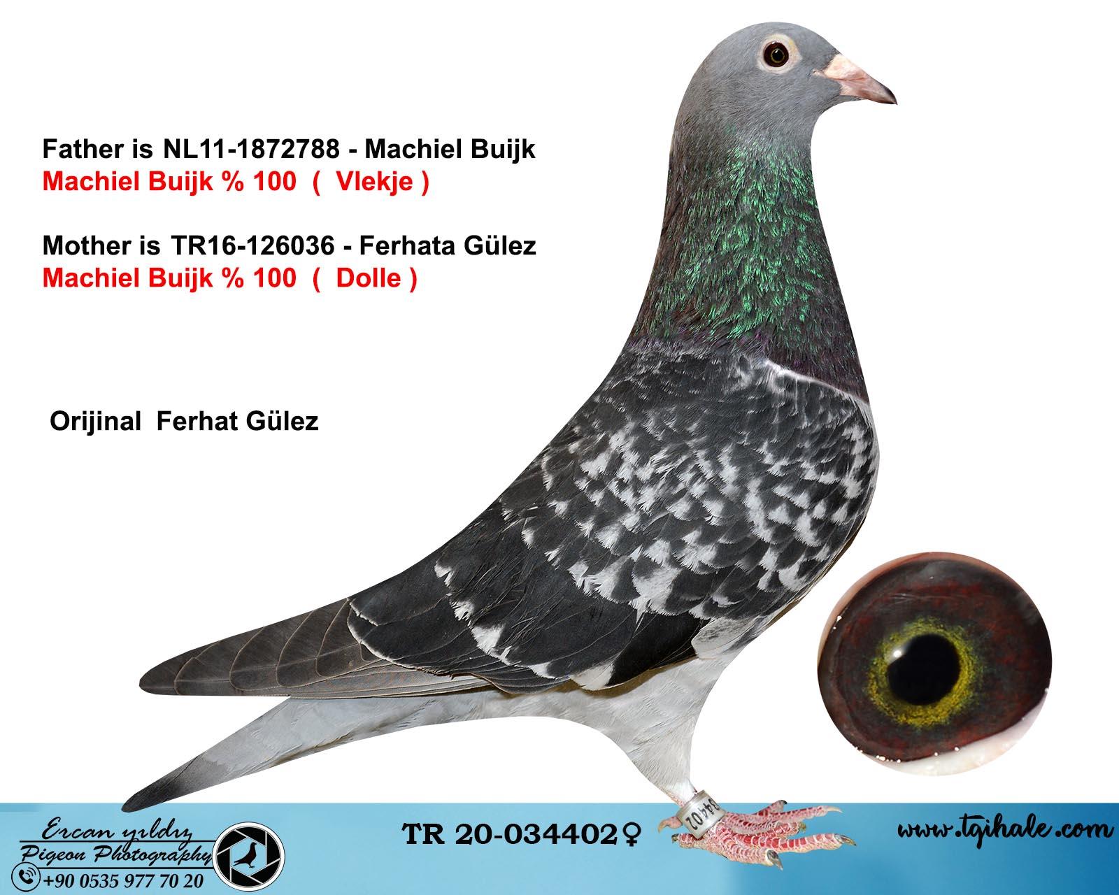 TR20-034402 DİŞİ / MACHIEL BUIJK DOLLA AARDEN % 100