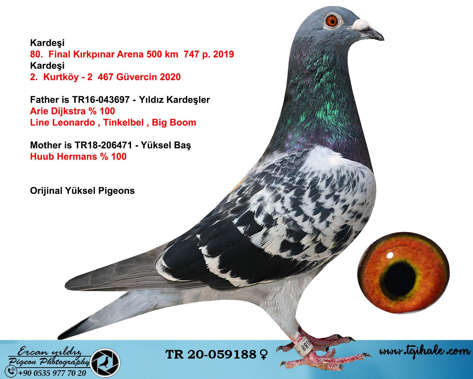 TR20-059188 DİŞİ / BABASI ARİE DIJKSTAR  ANNESİ HUUB HERMANS % 100